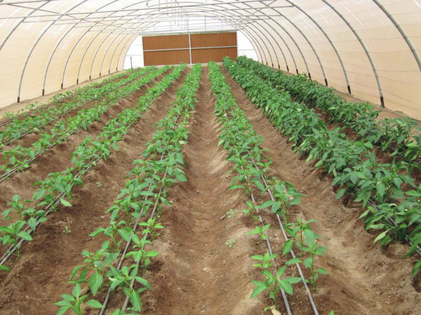 Greenhouse drip irrigation